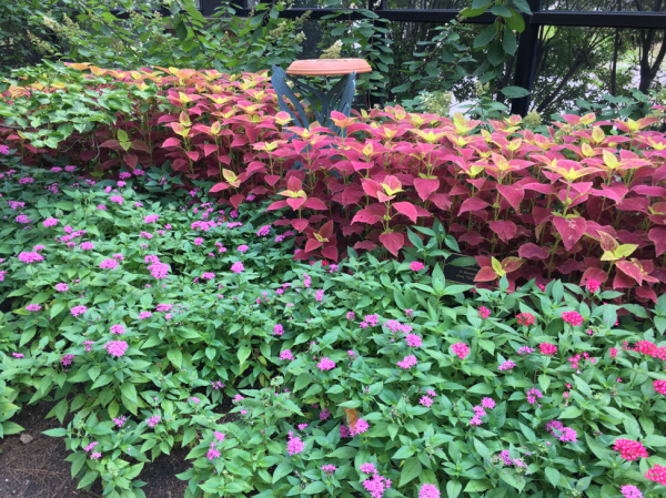 Coleus and Pentas make for a good combination in a full sun site