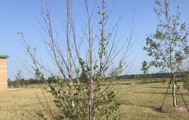 Tree defoliating from the top and branch extremities
