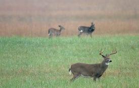 A buck deer in a field.