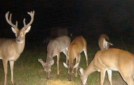 Deer on a trail camera