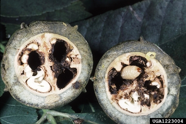 pecan weevil damage