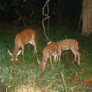 A doe and fawn on a trail camera.