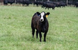 Black baldy heifer standing in a pasture.