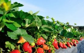 Strawberries growing in field