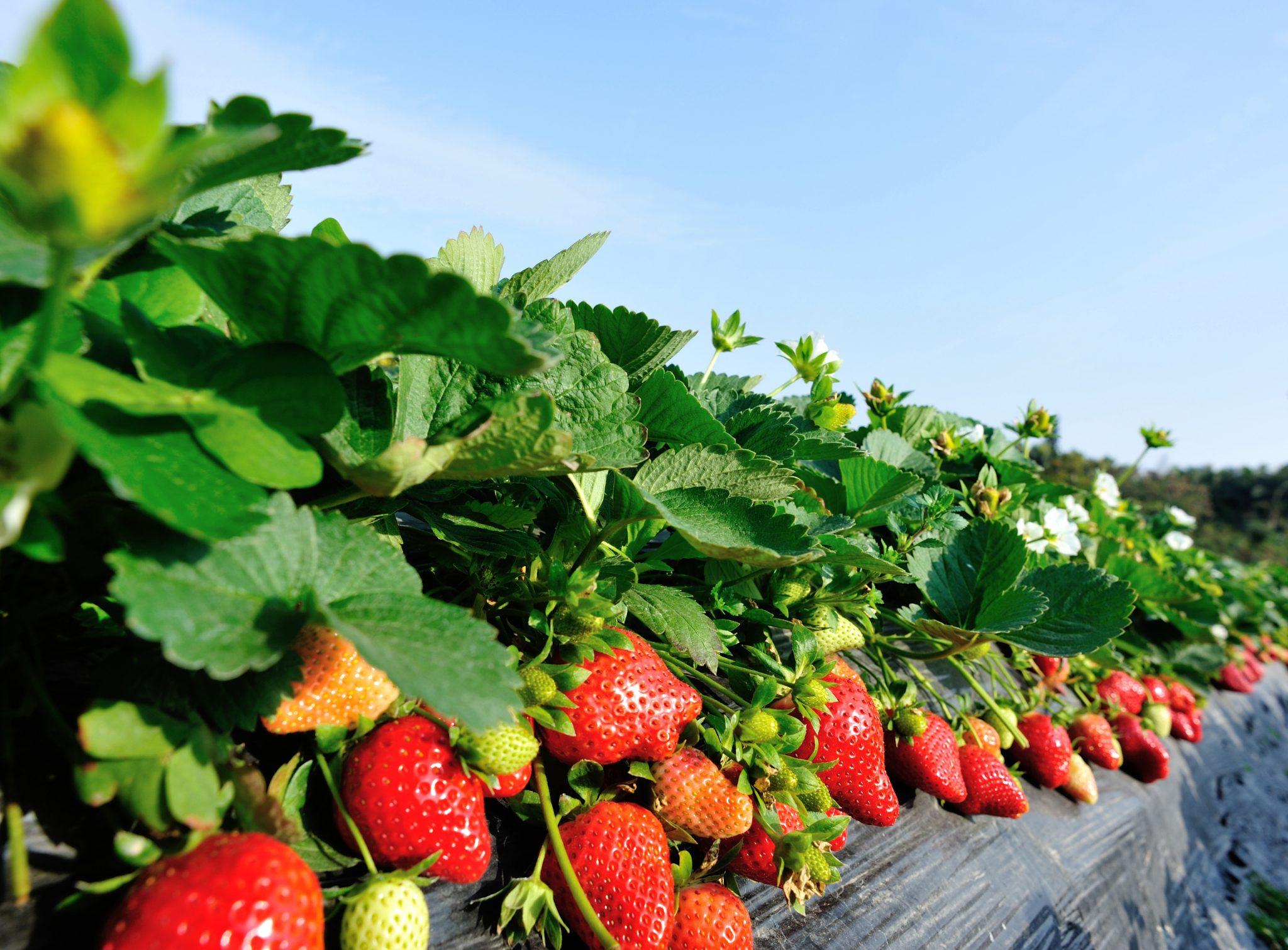 Strawberries growing in field