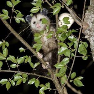 Opossum hunting