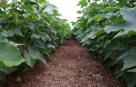 rows of cotton