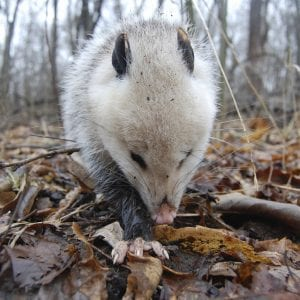 Opossums can live in many types of habitats.