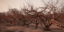 Dormant peach trees.