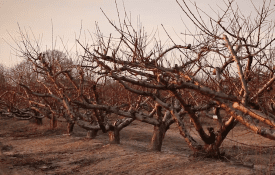 Dormant peach trees.