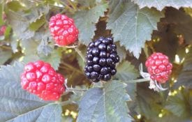Blackberries growing on a bush.