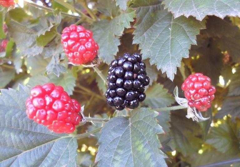 Blackberries growing on a bush.