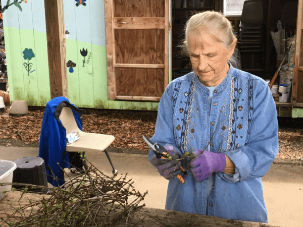 extension volunteer gets cuttings ready for planting