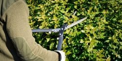 Gardener cutting hedge with hedge clippers.