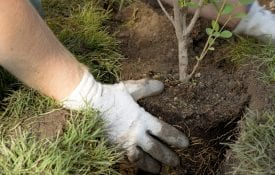 close-up of hands planting a Tree.