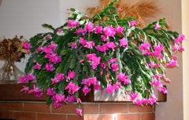 A Christmas cactus sitting on a mantel.