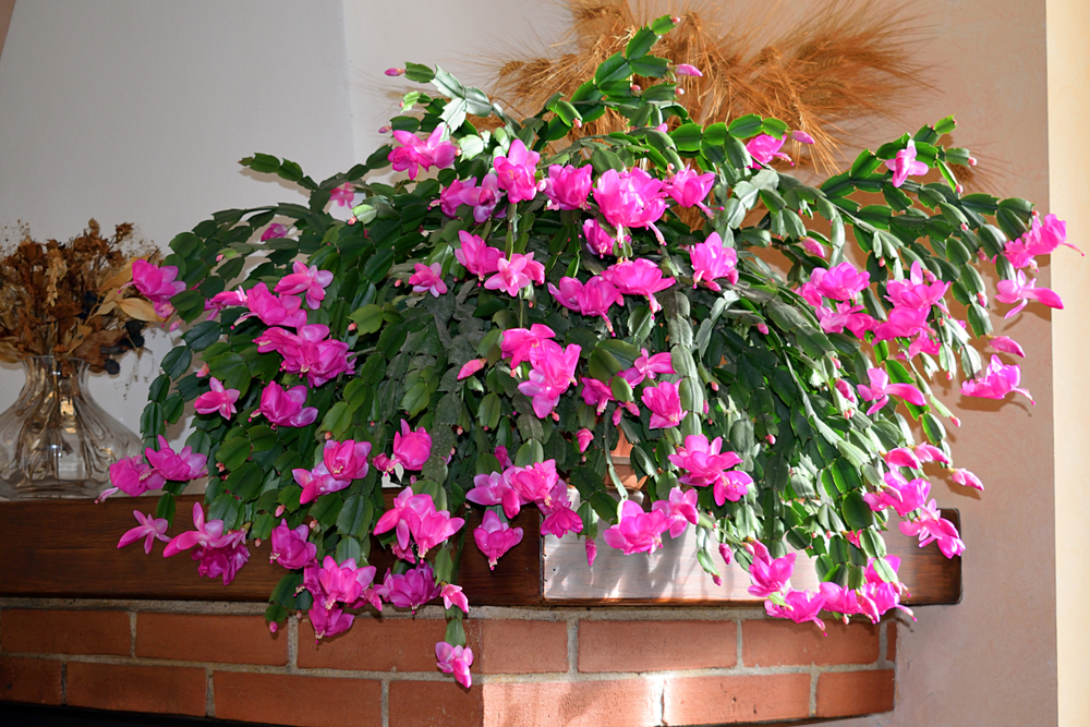 A Christmas cactus sitting on a mantel.