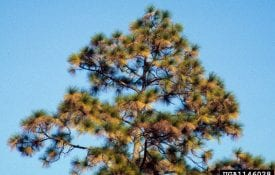 Pine tree in drought