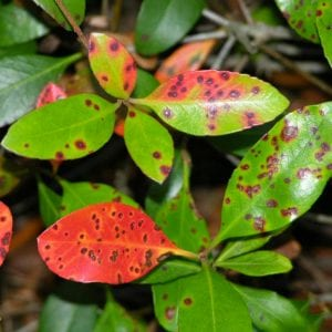 Bright red leaf spotting associated with Entomosporium leaf spot on Indian hawthorn.