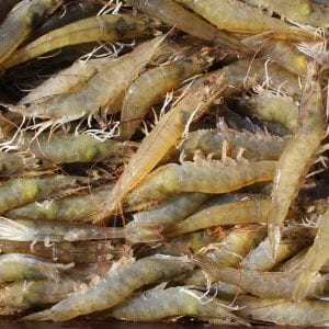 Farm-raised Pacific white shrimp