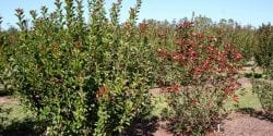Leaf spot-incited defoliation on red tip photinia (right) compared with fungicide-protected red tip photinia (left)