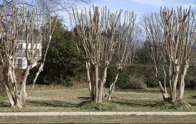 Improperly pruned crape myrtles.