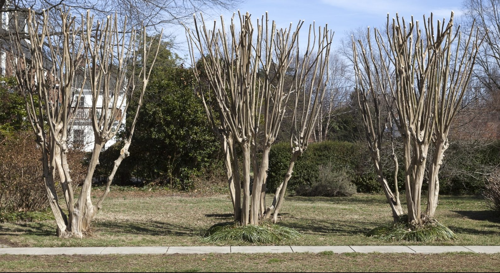 Improperly pruned crape myrtles.