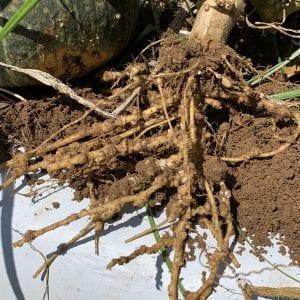 nematode damaged roots