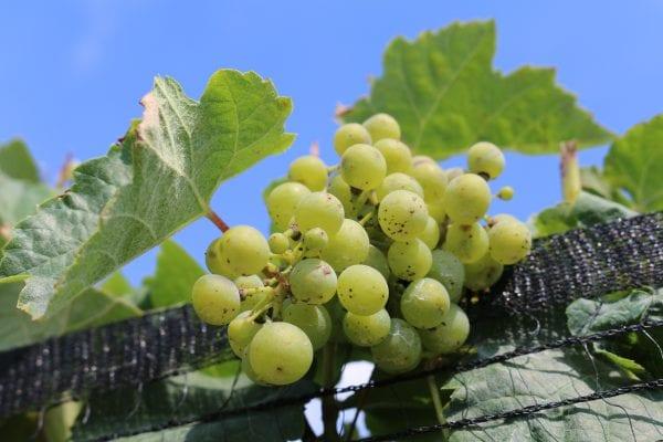 European grape. Bunch grape variety.