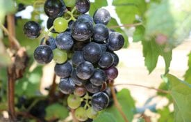 European grape. Purple bunch wine grapes.