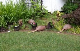 young armadillos forage in an ornamental garden