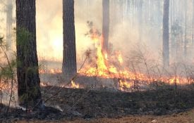 Winter prescribed fire in Lee County, Alabama. Taken at the Mary Olive Thomas Demonstration Forest by Dr. Becky Barlow
