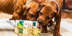 Two rhodesian ridgeback puppies opening Christmas gifts.