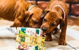 Two rhodesian ridgeback puppies opening Christmas gifts.