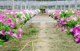 Hanging potted flowers in a nursery.