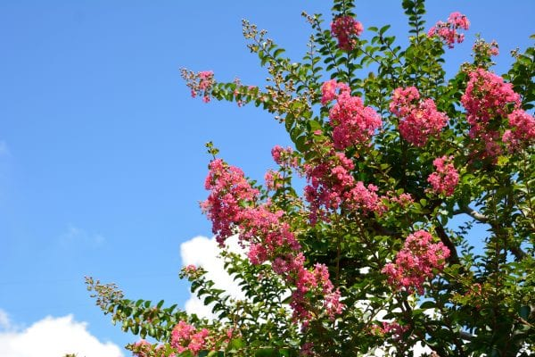 Pink crape myrtle with a blue sky in the background.