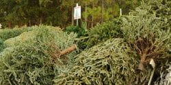 Christmas tree drop off.