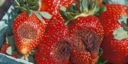 Strawberry disease