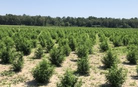 Hemp Field in Alabama