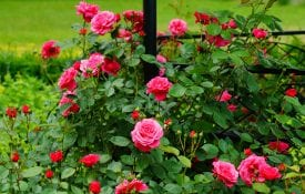 roses in a backyard flowerbed