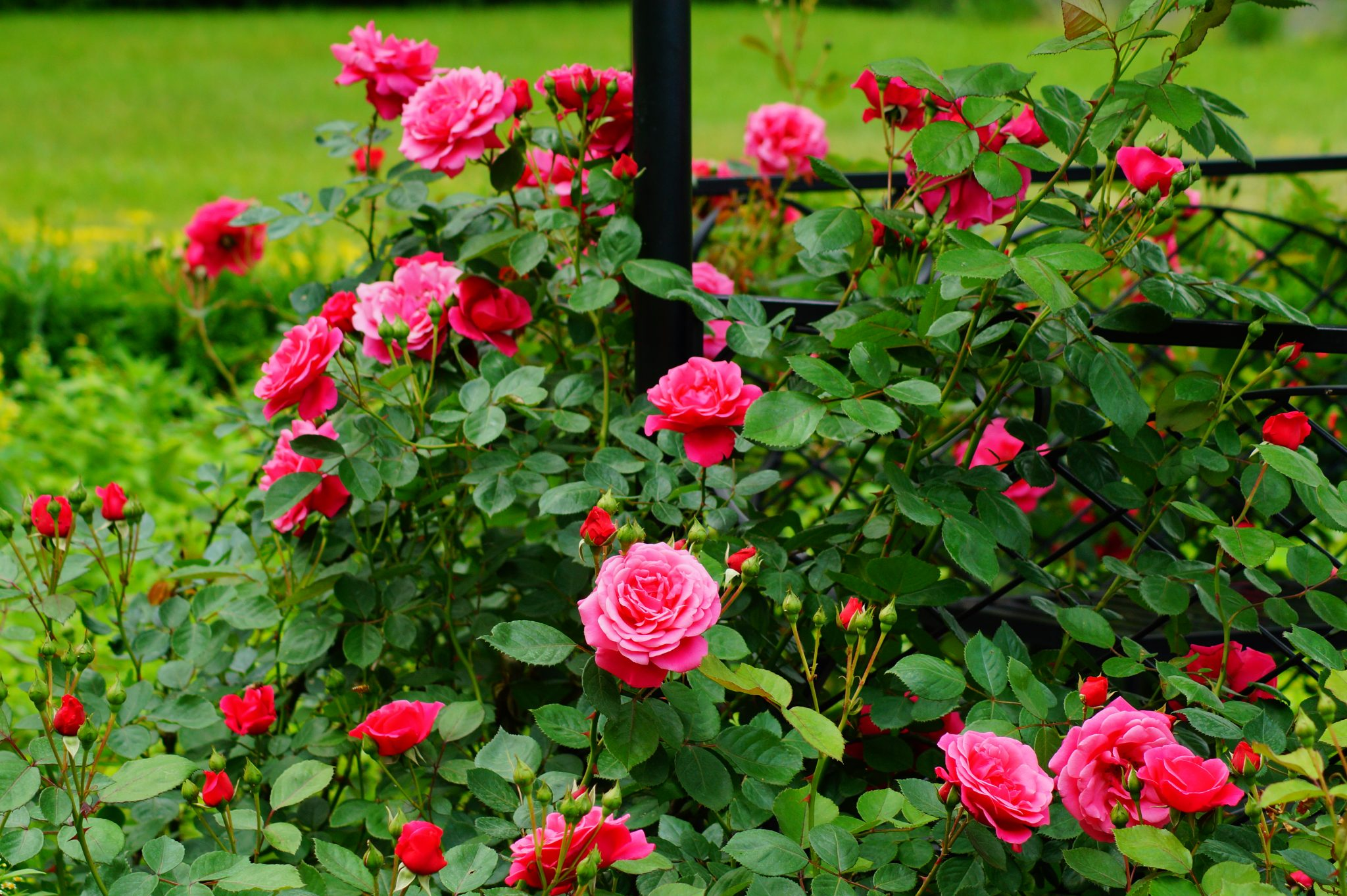 Pruning Roses Promotes Vigorous Growth Alabama Cooperative