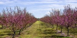 peach orchard, chill hours