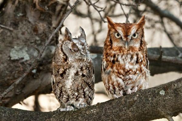 Pair of Eastern Screech Owls