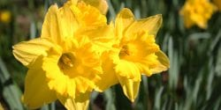 A group of daffodils