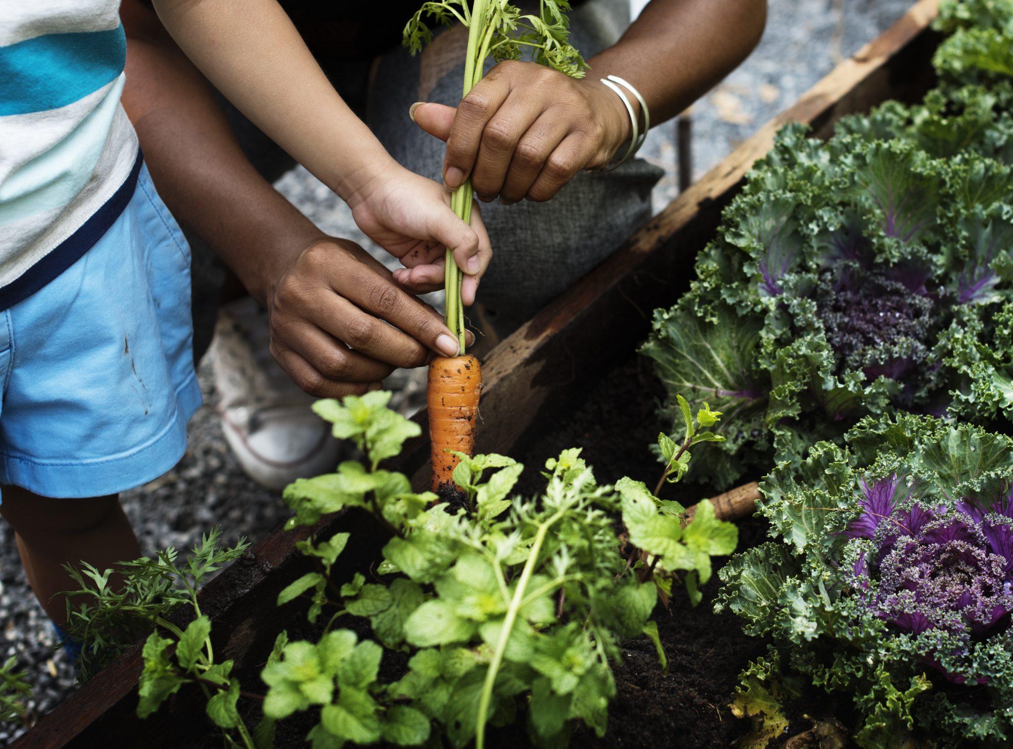 Children picking a baby carrot in a garden
