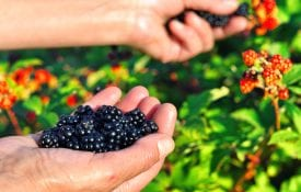 blackberry varieties