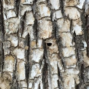 Bark damage on ash tree from the emerald ash borer.