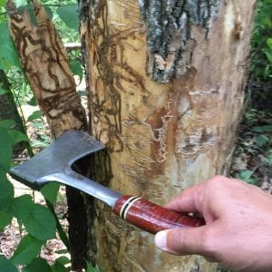 Emerald ash borer insect damage