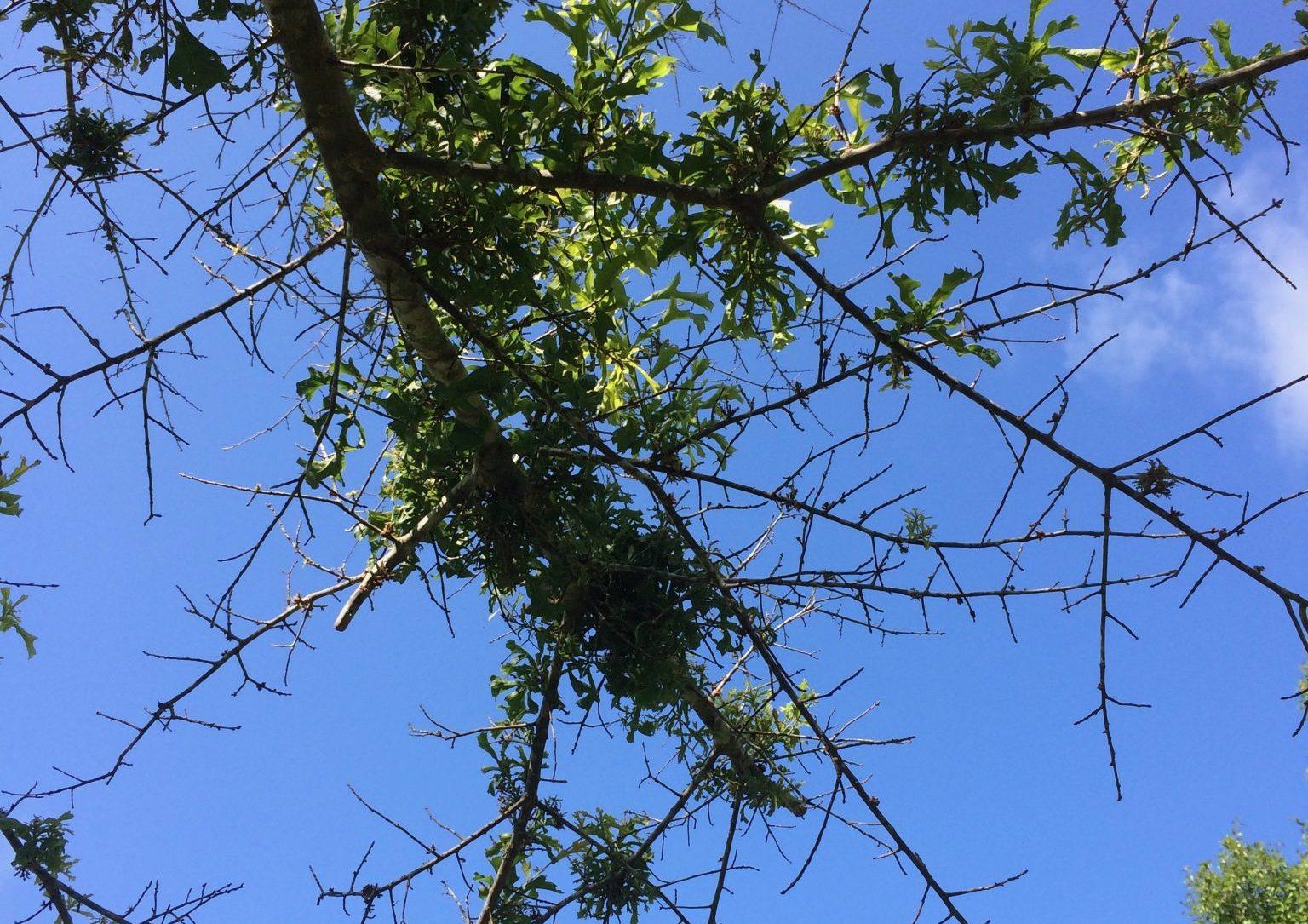 Herbicide Damaged Tree