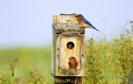 Male and female bluebirds around a birdhouse.